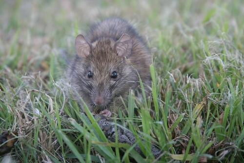 A black rat amongst blades of grass