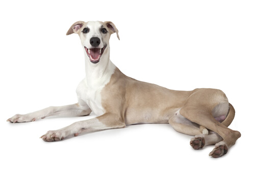 A whippet laying down against a white backdrop