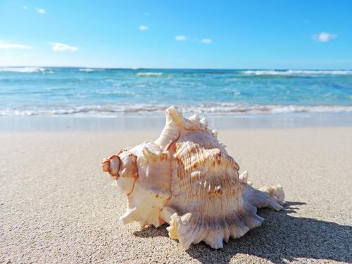 A conch on the beach