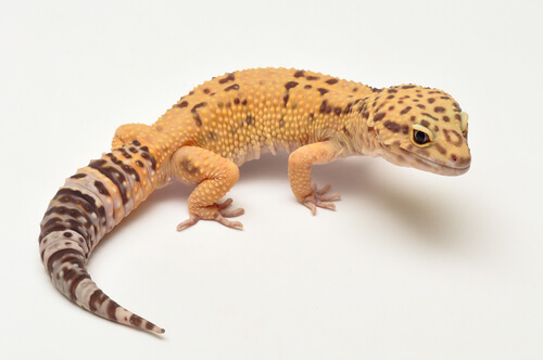 A leopard gecko stands against a white background