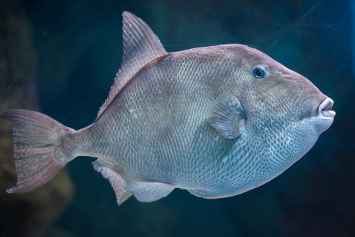A triggerfish profile against a black background