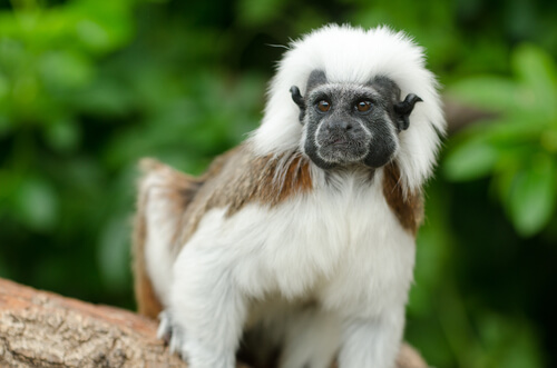 A cotton-top tamarin sitting on a tree branch