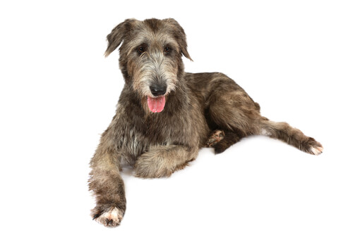 An Irish Wolfhound against a white background