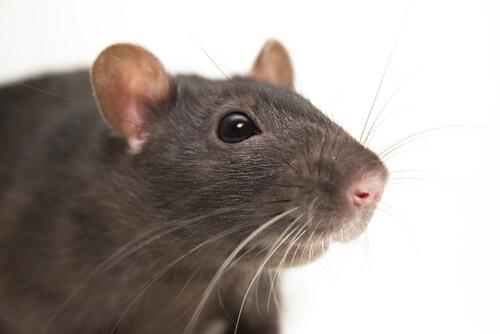 A black rat portrait