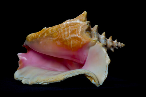 A conch shell against a black background