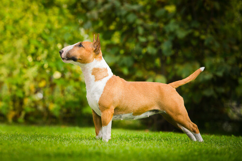A red with white bull terrier standing in profile on grass