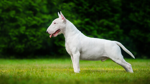 A white bull terrier standing in profile on grass