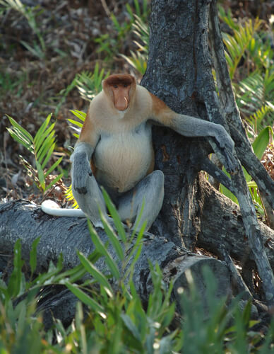 A proboscis monkey resting against a tree