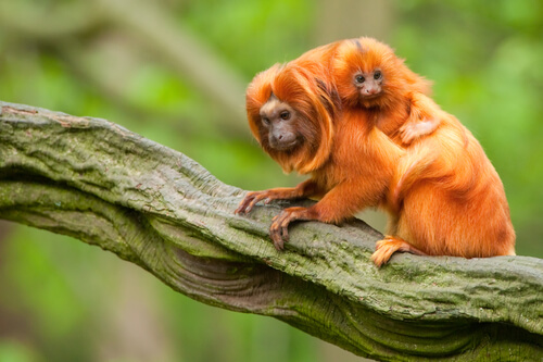 A golden lion tamarin walks on a tree branch with a baby on its back