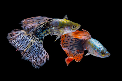 Two colorful male guppies against a black backdrop