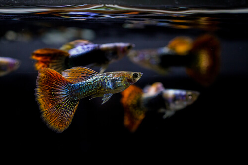 Several guppies swimming near the surface of the water
