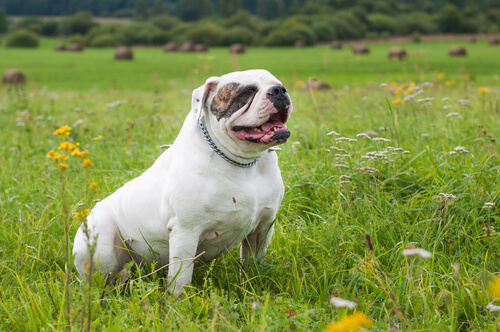 An American Bulldog sits in a hayfield