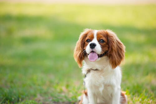 Cavalier King Charles sitting in a grassy field
