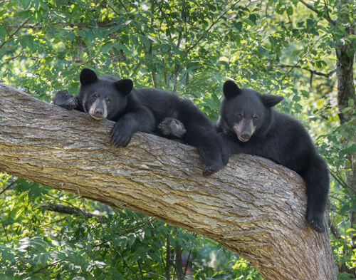 Two young black bears lounding on a tree branch