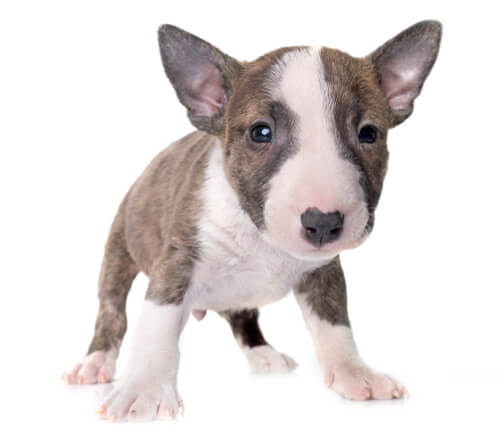 A bull terrier puppy against a white background