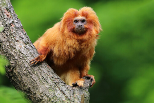 A goldien lion tamarin sits on a tree branch