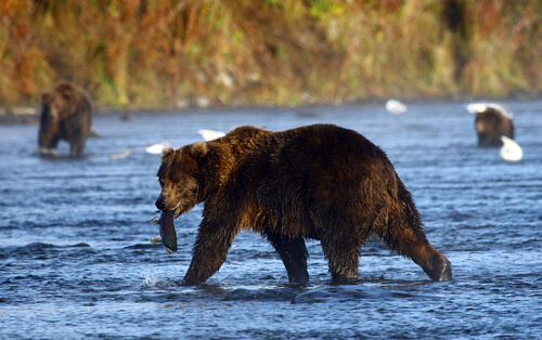 A kodiak bear wanters through a river with a fish in its mouth