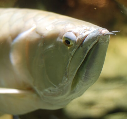 Close up of a silver arowanas head showing its upturned mouth