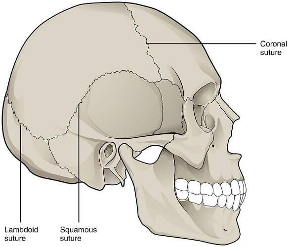 skull cranial bone sutures parietal bone frontal occipital temporal
