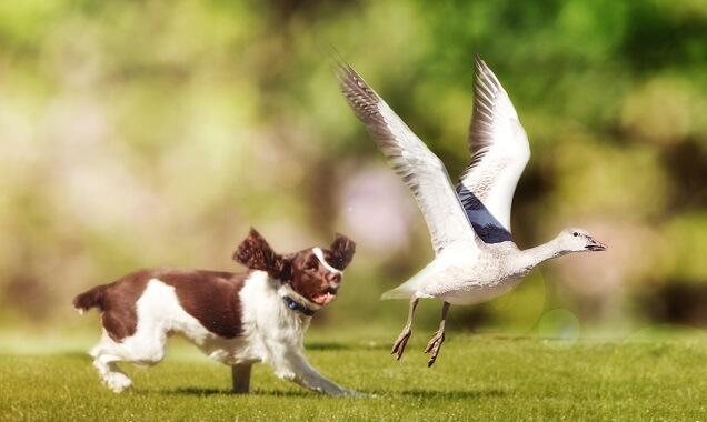 An English springer spaniel chasing a bird