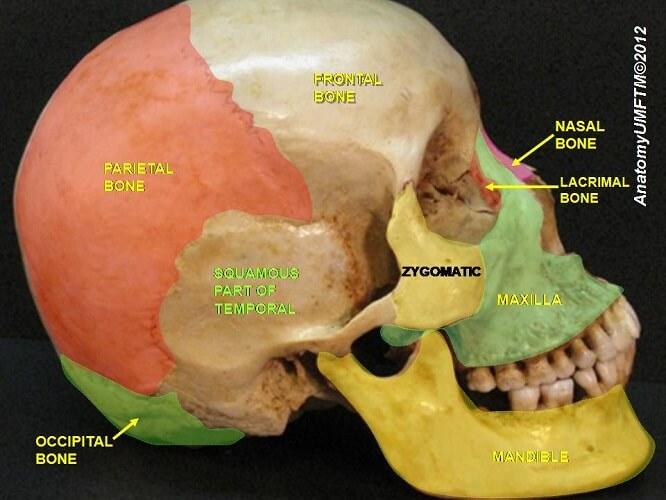squamous part temporal bone skull mandible maxilla zygomatic parietal frontal occipital bones