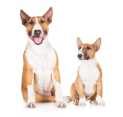The much bigger standard bull terrier sat next to a mini bull terrier