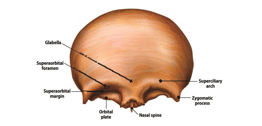 supraorbital foramen foramina frontal bone