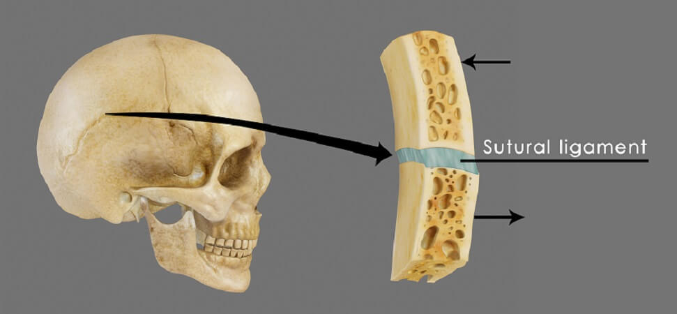 suture skull cranial facial bones articulation