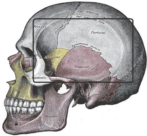 temporal fossa skull cranium