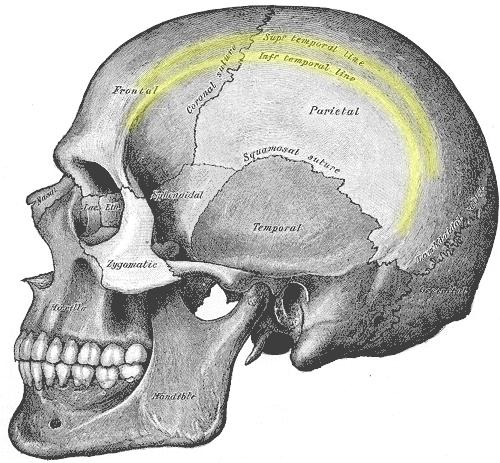 superior inferior temporal line parietal bone