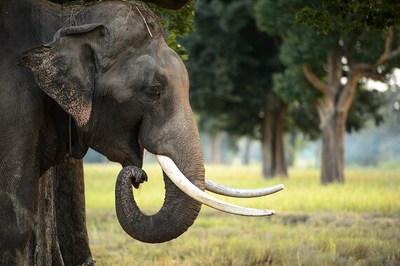 A male Asian elephant with tusks