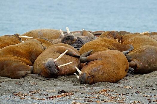 A herd of walruses on a beach