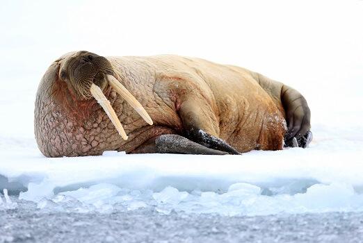 A walrus on an ice floe