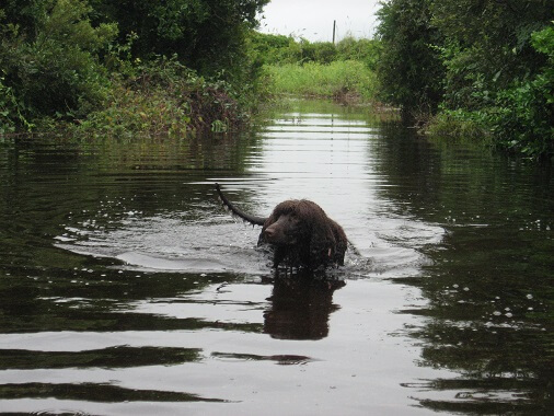A spaniel swimming
