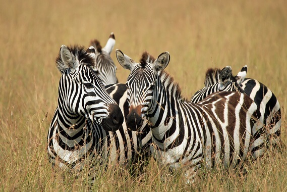 A group of zebras in long grass