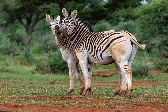Two plains zebras that have less striping and brown skin on their rumps