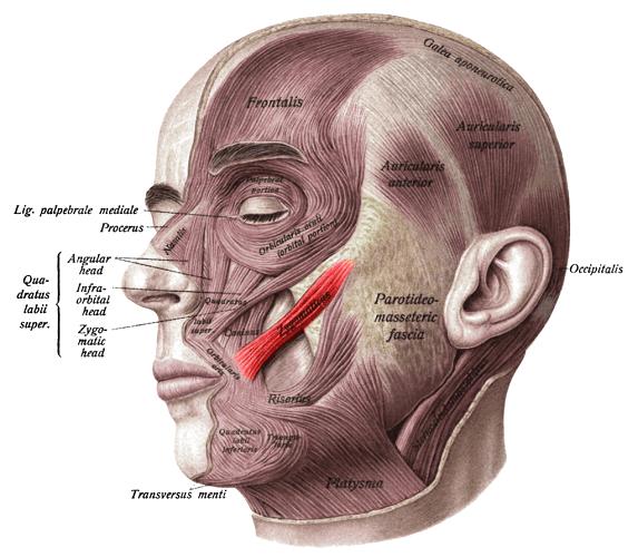 zygomaticus major muscle jaw mastication zygomatic bones arch