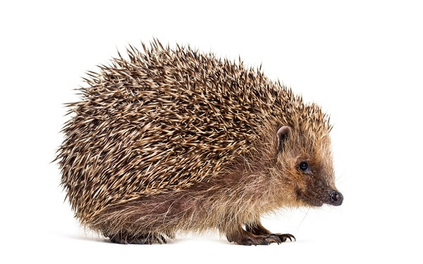 A hedgehog is a small, shrew-sized mammal covered in thousands of pointy spines.