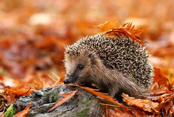 Hedgehogs must hibernate in cold northern latitudes, which they usually do in underground burrows.