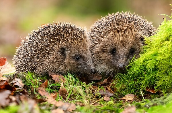 A mother hedgehog teaches her youngster how to hunt for insects and which ones to eat.