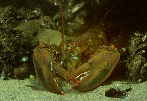 An American lobster on sand