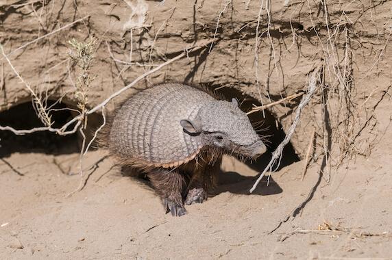 A big hairy armadillo leaving its burrow.