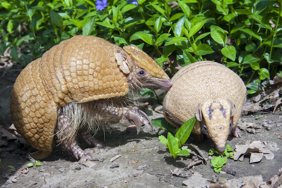 A three-banded armadillo and her young.