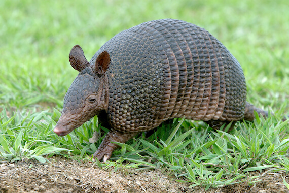 A nine-banded armadillo amongst some grass.