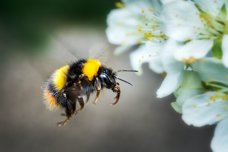 A bumblebee flying in front of a white flower.