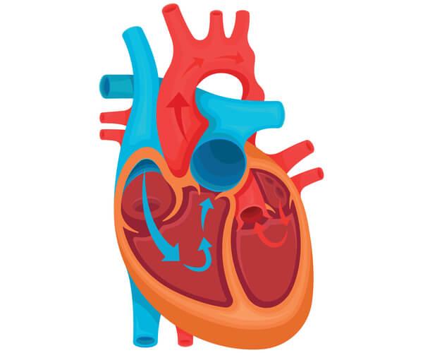 Graphic of ductus arteriosus