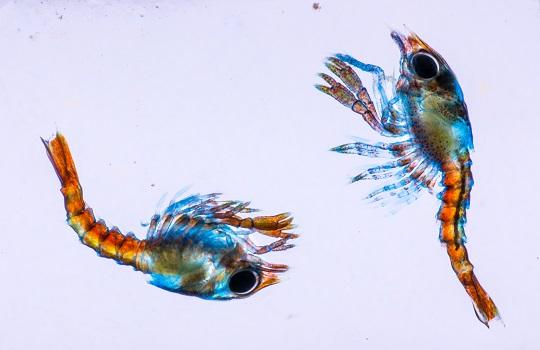 Two lobster larvae