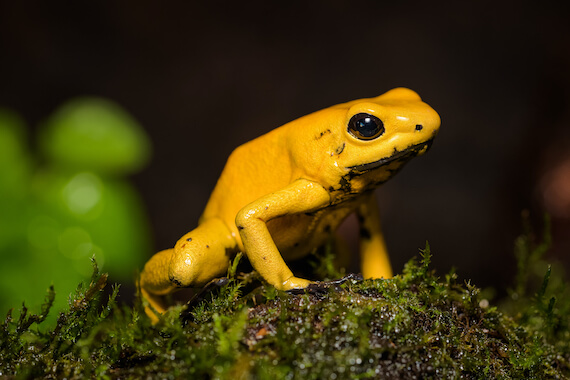 A golden poison frog sitting on some moss.