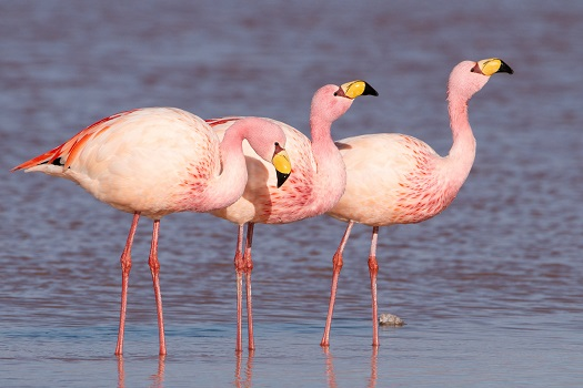 Three James's flamingo in water.