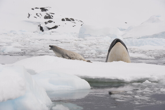 A killer whale next to a seal on a chunk of sea ice.